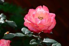 Rosa di rosa immagine stock libera da diritti