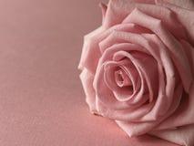 Rosa di rosa Fotografia Stock