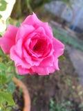 Rosa di Rosa Fotografie Stock Libere da Diritti