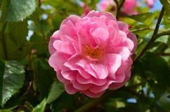 Rosa di rosa con i punti Fotografie Stock Libere da Diritti