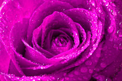 Rosa di rosa con le gocce di acqua Immagini Stock