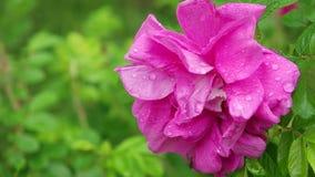 Rosa di rosa con le gocce di acqua sui petali dopo pioggia video d archivio