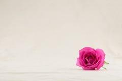 Rosa di rosa dalla vista laterale Fotografie Stock