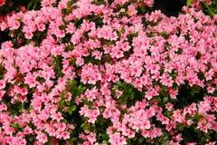 Rosa di rosa delle petunie, narciso giallo, viole del pensiero, bocca di leone e tagete, bello bianco del nero del fondo dell'erb Fotografie Stock