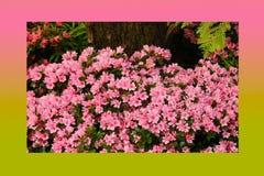 Rosa di rosa delle petunie, narciso giallo, viole del pensiero, bocca di leone e tagete, bello bianco del nero del fondo dell'erb Immagine Stock Libera da Diritti