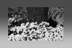 Rosa di rosa delle petunie, narciso giallo, viole del pensiero, bocca di leone e tagete, bello bianco del nero del fondo dell'erb Fotografia Stock Libera da Diritti