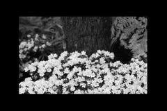 Rosa di rosa delle petunie, narciso giallo, viole del pensiero, bocca di leone e tagete, bello bianco del nero del fondo dell'erb Fotografie Stock Libere da Diritti