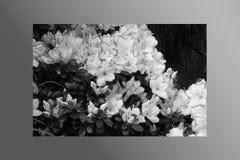 Rosa di rosa delle petunie, narciso giallo, viole del pensiero, bocca di leone e tagete, bello bianco del nero del fondo dell'erb Fotografia Stock