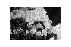 Rosa di rosa delle petunie, narciso giallo, viole del pensiero, bocca di leone e tagete, bello bianco del nero del fondo dell'erb Immagine Stock