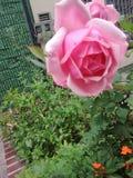 Rosa di rosa di Bogota della via del giardino Immagine Stock