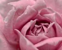 Rosa di rosa e filtro dall'annata della goccia di acqua Fotografia Stock