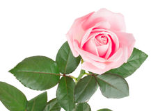 Rosa di rosa isolata su fondo bianco Immagini Stock Libere da Diritti
