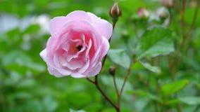 Rosa di rosa nelle gocce di pioggia stock footage