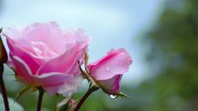 Rosa di rosa nelle gocce di pioggia archivi video