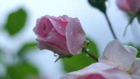 Rosa di rosa nelle gocce di pioggia video d archivio
