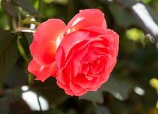 Rosa di rosa pastello che pende giù dal cespuglio fotografia stock