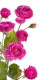Rosa di rosa selvaggio Fotografia Stock Libera da Diritti