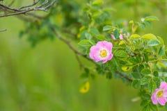 Rosa di rosa selvaggio che fiorisce all'estate Fotografia Stock Libera da Diritti
