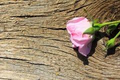 Rosa di rosa selvaggio su fondo di legno Fotografia Stock