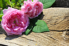Rosa di rosa selvaggio su fondo di legno Immagine Stock