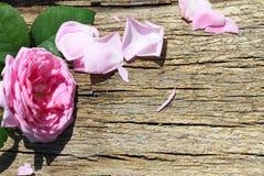 Rosa di rosa selvaggio su fondo di legno Immagine Stock Libera da Diritti