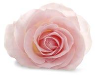 Rosa di rosa su un fondo bianco con un'ombra molle immagini stock libere da diritti