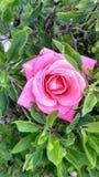 Rosa di rosa a tulsa Fotografia Stock Libera da Diritti