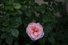 Rosa di rosa in un giorno piovoso Fotografie Stock Libere da Diritti