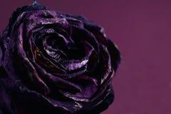 Rosa di secchezza di porpora immagine stock