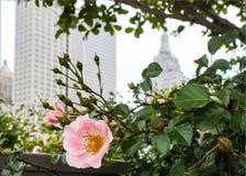 Rosa di rosa selvaggio con orizzonte vago di Tulsa Oklahoma dietro  Immagini Stock Libere da Diritti
