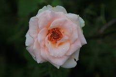 Rosa di rosa selvaggio dopo una pioggia Immagine Stock