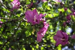 Rosa di Sharon immagini stock libere da diritti