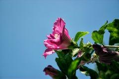 Rosa di Sharon fotografie stock libere da diritti