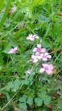 Rosa di Silvester Immagine Stock