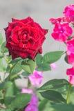 Rosa di rosa su un fondo leggero fotografia stock libera da diritti