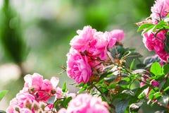 Rosa di rosa sull'albero Fotografia Stock