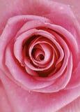 Rosa di rosa in una goccia del fondo del primo piano dell'acqua Fotografia Stock