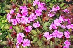 Rosa di vista superiore o fiore porpora di balsamina di impatiens che fiorisce con le gocce di acqua in giardino immagini stock libere da diritti