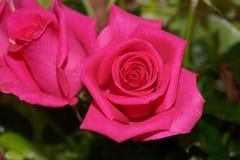 Rosa Dia internacional do ` s das mulheres Imagens de Stock
