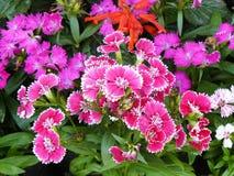 Rosa dianthusblomma Royaltyfria Foton