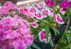 Rosa dianthusblomma Royaltyfri Foto