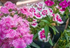 Rosa Dianthusblume Lizenzfreies Stockfoto