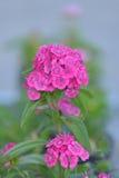Rosa Dianthusblumen Lizenzfreies Stockfoto