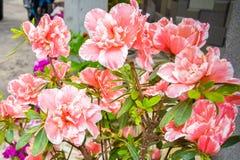 Rosa Dianthuscaryophyllus för nejlika eller för kryddnejlika Det är en örtartad perenn växt som växer i solljus fotografering för bildbyråer