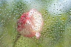 Rosa dietro il vetro Immagine Stock Libera da Diritti