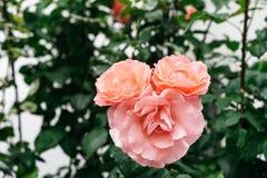 Rosa divertida en la forma de la cabeza del animal Papel pintado del estilo de la belleza fotografía de archivo