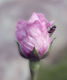 Rosa do último do verão Fotografia de Stock