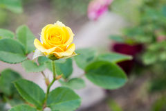Rosa do amarelo Foto de Stock Royalty Free