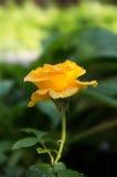 Rosa do amarelo Imagem de Stock Royalty Free