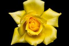 Rosa 2 do amarelo Imagem de Stock Royalty Free